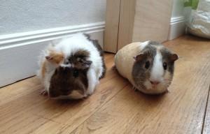 simon guinea pigs